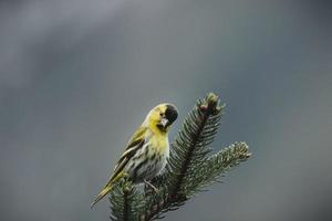 parrocchetto giallo arroccato su un albero