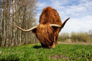 yak marrone su erba verde