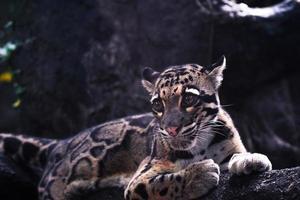 primo piano di un giaguaro foto
