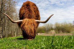 mucca dell'altopiano che mangia erba