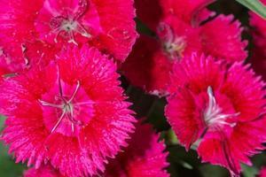 fiori di dianthus rossi