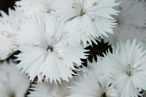 fiori di dianthus bianchi