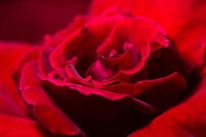 primo piano della rosa rossa
