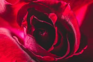 primo piano della rosa rossa foto