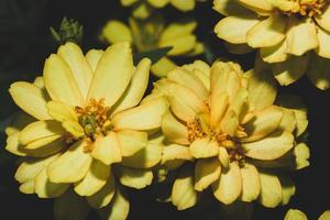 fiore giallo dianthus su sfondo nero