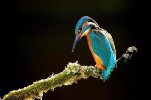 Kingfisher isolati su sfondo nero