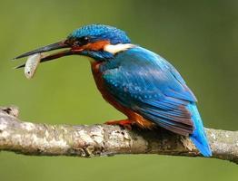 martin pescatore con pesce