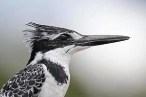 pied kingfisher profilo
