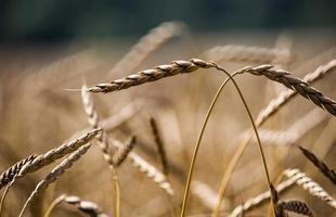 primo piano del raccolto di grano nella stagione autunnale foto