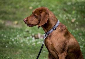 cane marrone seduto nell'erba