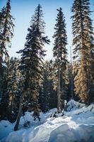 alberi di pino coperti di neve durante il giorno