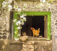 ingresso stalla per galline