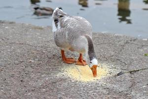 oca che mangia sulla riva del lago di cemento
