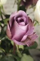 primo piano di rosa rosa