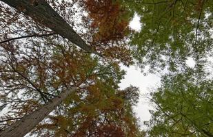 vista dal basso di alberi ad alto fusto nella foresta di autunno