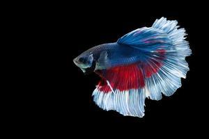 pesce betta mezzaluna con strisce blu e rosse foto
