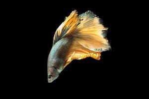 pesce betta mezzaluna su sfondo nero foto