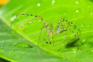 ragno verde su una foglia