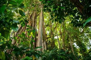 albero di banyan tropicale foto