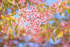bellissimo fiore di ciliegio