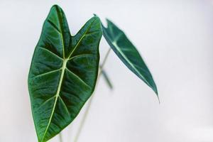 pianta della casa verde