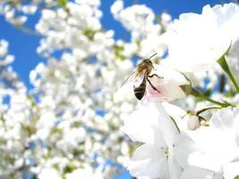 ape su fiori di ciliegio foto