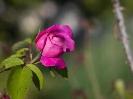 una rosa in fiore