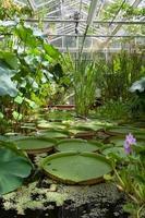 bristol, regno unito, 2020 - ninfee in giardino interno