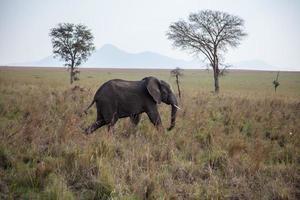elefante selvaggio nell'erba