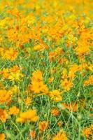 sfondo giallo-arancio del campo di fiori