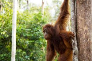 giovane orangutan. foto