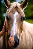 animale cavallo in posa su un terreno coltivabile al tramonto