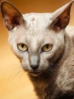animali a casa. gatto mau egiziano