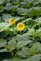 girasole in un giardino