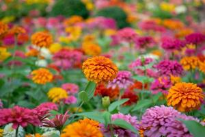 bellissimi fiori di zinnia in un giardino foto