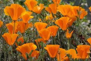 papaveri arancioni della california foto