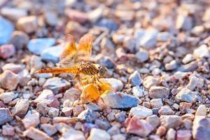 libellula arancione rimanere sulla roccia foto