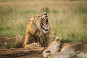 leone ruggente mentre giaceva nell'erba