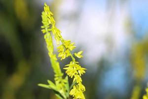 Sweetclover giallo nel kentucky