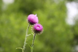 erbacce di cardo fiorite in primavera