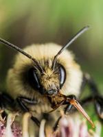 il calabrone giallo sfocato mostra l'apparato boccale rosso foto