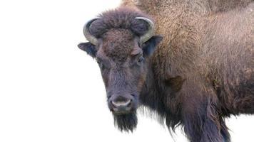 bisonte adulto isolato su bianco foto