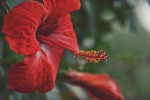 primo piano del fiore di ibisco rosso