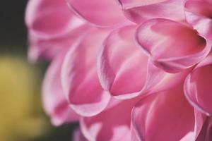 primo piano di petali di rosa foto