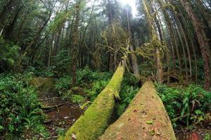Oregon foresta pluviale foto