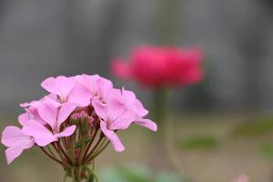 fiori rosa e rossi