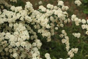 gruppo di fiori bianchi