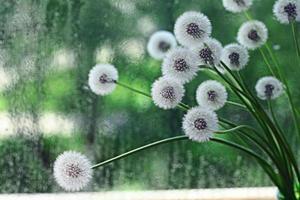 macro di semi di tarassaco