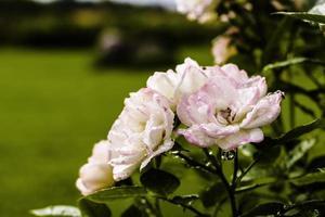 rose dopo la pioggia foto