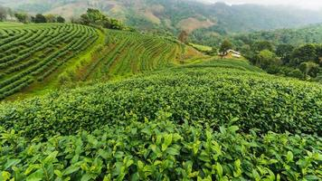 piantagione di tè doi mae salong 101, chiang rai, thailandia